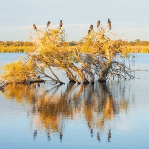 A Darter, cormorants and ducks on a submerged paperbark tree at Herdsman Lake in Perth, Western Australia.