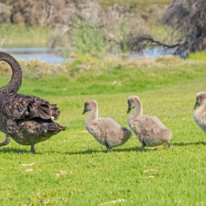 A black swan with three cygnets walking in line across the grass at Herdsman Lake in Perth, Western Australia.